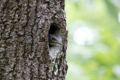 Filhote de passarinho do pica-pau-cinzento que espreita fora da cavidade do carvalho Europaea do Sitta do pássaro da floresta ou  Imagem de Stock Royalty Free