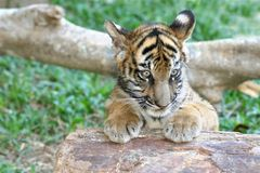 Filhote de tigre Imagens de Stock Royalty Free