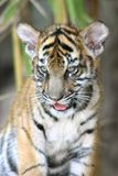 Filhote de tigre Fotos de Stock