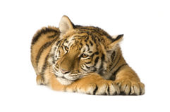 Filhote de tigre (5 meses) Imagem de Stock Royalty Free