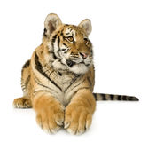 Filhote de tigre (5 meses) Imagens de Stock