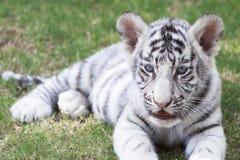 Filhote de tigre imagem de stock royalty free