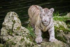 Filhote de tigre branco Fotografia de Stock Royalty Free