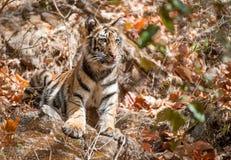 Filhote de tigre de Bengal no habitat natural O Panthera tigris tigris do tigre de Bengal (indiano) Foto de Stock