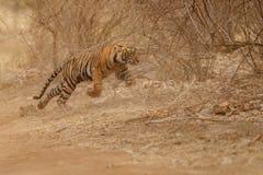 Filhote de tigre que corre na selva imagem de stock royalty free