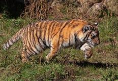 Filhote de tigre Running Fotografia de Stock