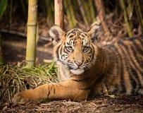 Filhote de tigre velho de quatro meses no bambu Fotografia de Stock Royalty Free