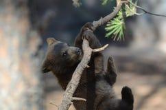 Filhote de urso Imagens de Stock