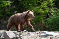 Filhote de urso de Brown em uma floresta da mola Imagem de Stock