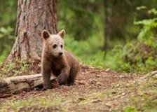 Filhote de urso de Brown Fotografia de Stock