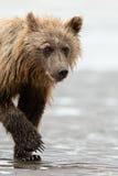 Filhote de urso de Brown imagens de stock royalty free