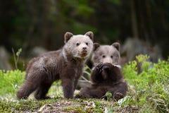 Filhote de urso de Brown foto de stock