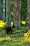 Filhote de urso de Brown na floresta Imagem de Stock
