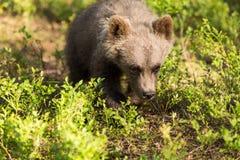 Filhote de urso de Brown na floresta finlandesa Fotografia de Stock Royalty Free