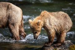Filhote de urso marrom do Alasca Fotografia de Stock Royalty Free