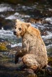 Filhote de urso marrom do Alasca Fotos de Stock