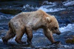 Filhote de urso marrom do Alasca Imagem de Stock Royalty Free