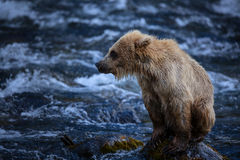 Filhote de urso marrom do Alasca Fotos de Stock Royalty Free