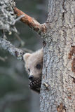 Filhote de urso marrom do Alasca bonito Fotos de Stock Royalty Free
