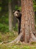 Filhote de urso marrom europeu que esconde atrás da árvore fotos de stock royalty free