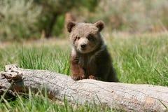 Filhote de urso pardo que senta-se no log fotografia de stock