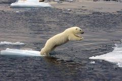 Filhote de urso polar de salto Fotografia de Stock Royalty Free