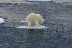 Filhote de urso polar que flutua antes do salto 2 foto de stock royalty free