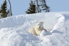 Filhote de urso polar que joga ao redor Imagens de Stock Royalty Free