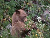 Filhote de urso preto após bagas imagem de stock