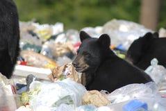 Filhote de urso preto na descarga de lixo foto de stock