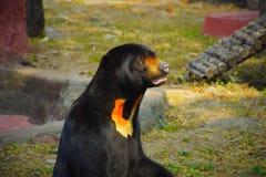 Filhote de urso de vista inocente que olha para fora para sua mãe fotografia de stock