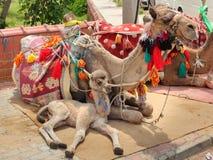 Filhote do camelo que encontra-se com mãe foto de stock