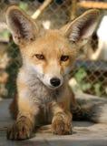 Filhote do Fox Foto de Stock