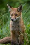Filhote do Fox vermelho Fotos de Stock