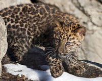 Filhote do leopardo foto de stock