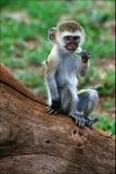 Filhote do macaco de Vervet. Imagem de Stock