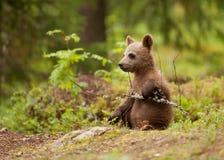 Filhote euro-asiático do urso marrom (arctos de Ursos) Imagem de Stock