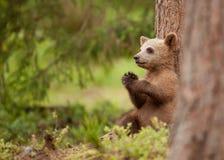 Filhote euro-asiático do urso marrom (arctos de Ursos) Fotografia de Stock