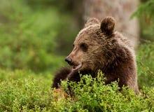 Filhote euro-asiático do urso marrom (arctos de Ursos) Fotos de Stock