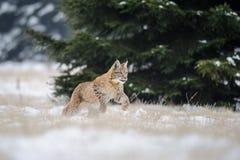 Filhote euro-asiático running do lince na terra nevado com a árvore no fundo Imagens de Stock Royalty Free
