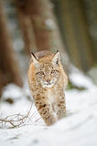 Filhote euro-asiático do lince que anda na neve na floresta Imagens de Stock