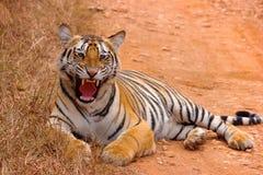 Filhote fêmea de Chandi do tigre, Panthera tigris, santuário de Umred-Karhandla, Maharashtra imagens de stock