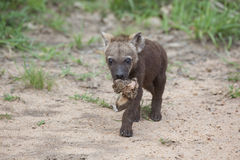 Filhote manchado da hiena Foto de Stock