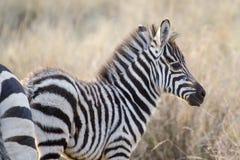 Filhote no savana, Masai Mara da zebra, Kenya Fotos de Stock