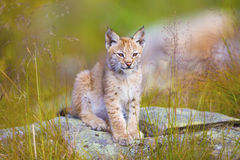 Filhote novo bonito do lince que senta-se na grama Foto de Stock Royalty Free