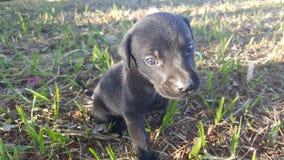 Filhote preto Cachorro Стоковые Изображения