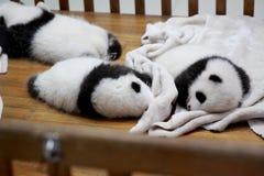 Filhotes da panda Foto de Stock Royalty Free