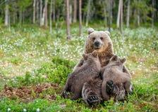 Filhotes de alimentação do leite materno do Ela-urso Urso de Brown, nome científico: Arctos do Ursus summertime imagens de stock royalty free
