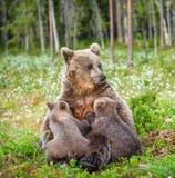 Filhotes de alimentação do leite materno do Ela-urso Urso de Brown, nome científico: Arctos do Ursus summertime fotos de stock royalty free