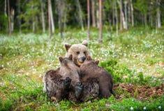 Filhotes de alimentação do leite materno do Ela-urso imagem de stock royalty free